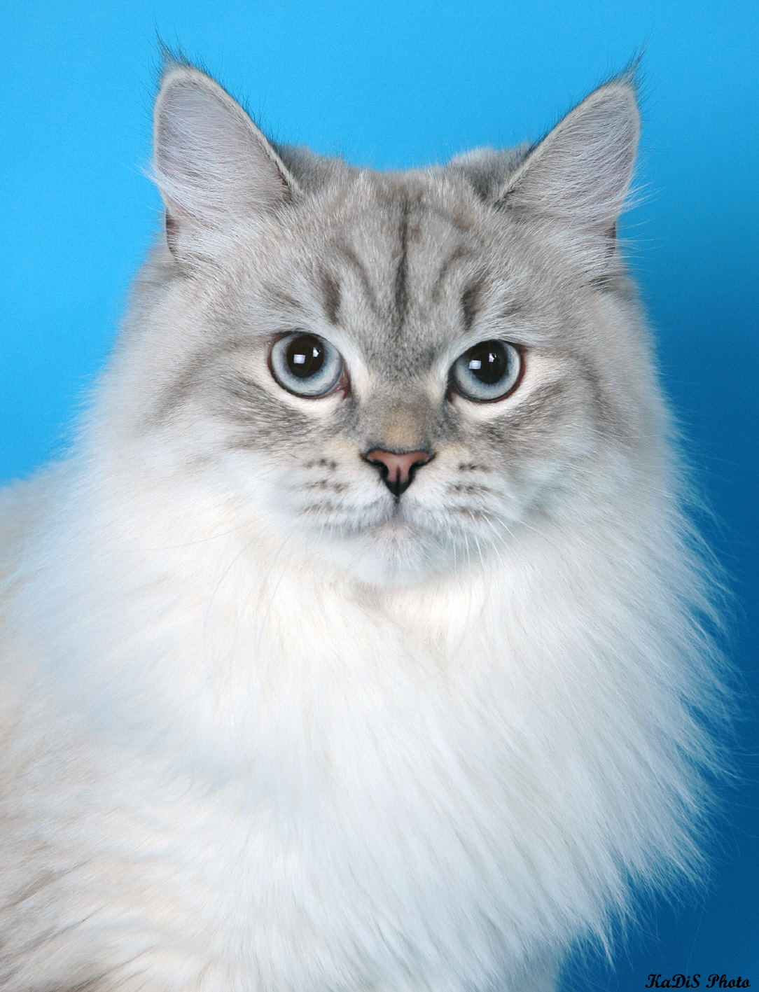 Сибирская кошка белая фото 6